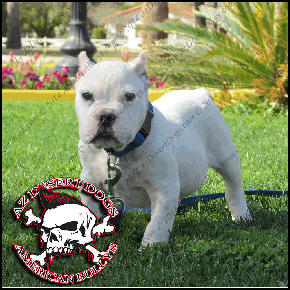 ARIZONAS BEST-KING OF BULLYS:  Home to the Best Bred American Bullys